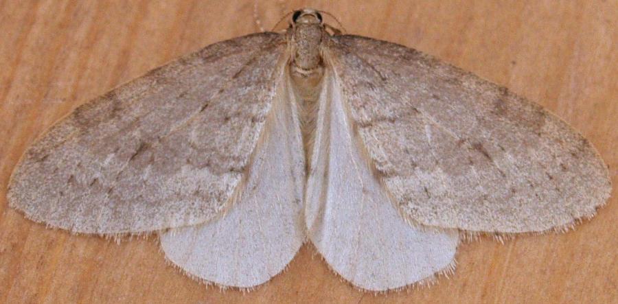 1800 Northern Winter Moth